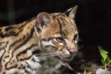 Ocelot- Leopardus pardalis Stock Photo