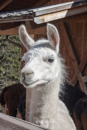 close-up of a white llama in a mountain farm. The llama is a domesticated South American camelid.
