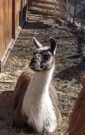 close-up of a white and brown llama in a mountain farm. The llama is a domesticated South American camelid.