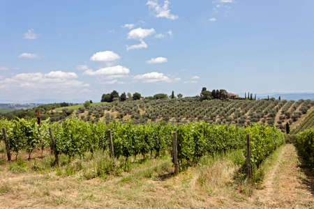 Vineyard on the hills of the Chianti region (Tuscany), for the production of the homonymous and famous fine wine