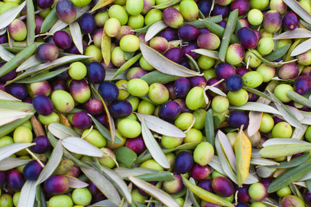 Pile of freshly picked olives. Background olives