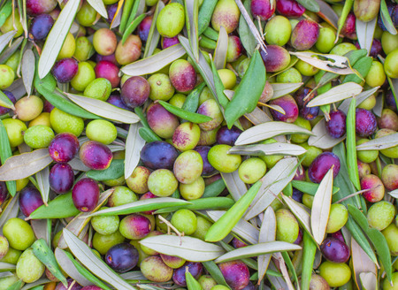 green trees: Pile of freshly picked olives. Background olives