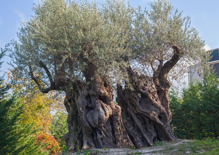whose: Old olive tree whose age is 2400 years in Italy.