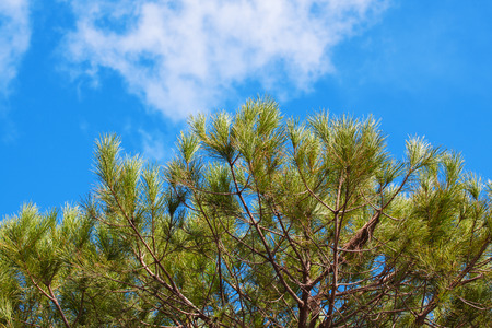pine needles close up: Fir branches against the backdrop of a beautiful blue sky on a clear day. Stock Photo