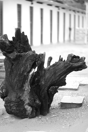 Old snag on the beach close-up.