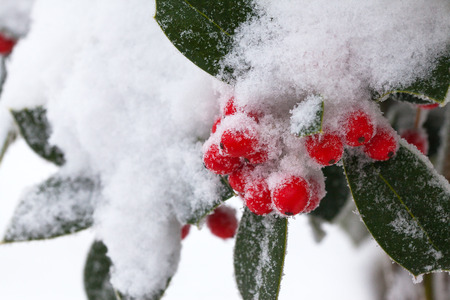 Red berries in the snow close-up. Reklamní fotografie