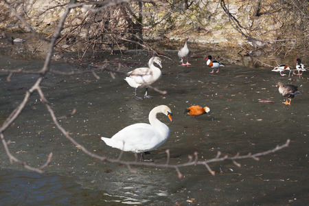 Wild ducks and a swan on the water close-up. Beautiful background. Reklamní fotografie