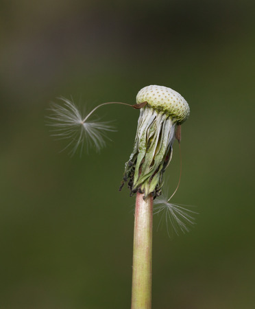 Seeds of dandelion close-up on a green background.