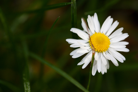 Chamomile in the grass close-up. Beautiful background.