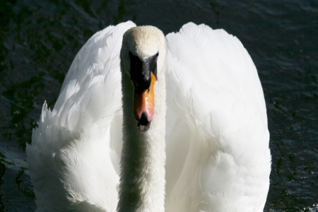 onslaught: Angry swan Stock Photo