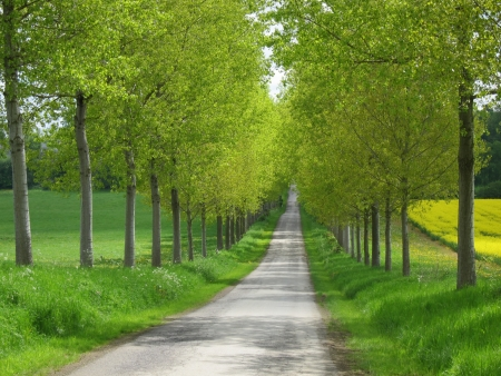 rapaseed: Road with colefield during spring in the Belgium Ardennes
