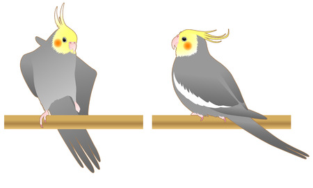 Set of illustrations of cockatiel Illustration