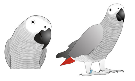 Illustration of African grey parrot.