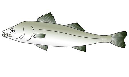 Illustration of a sea bass swimming