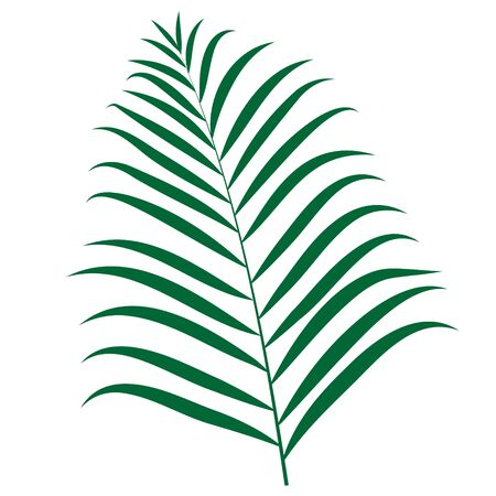 Vector illustration of Areca palm on a white background