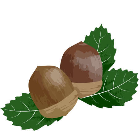 Vector illustration of acorn on white background Иллюстрация