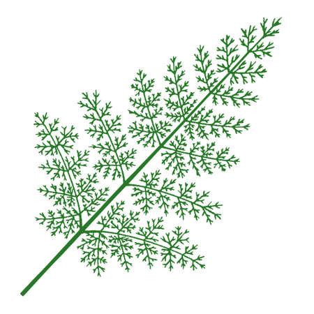 Vector illustration of Tabalia fern on white background