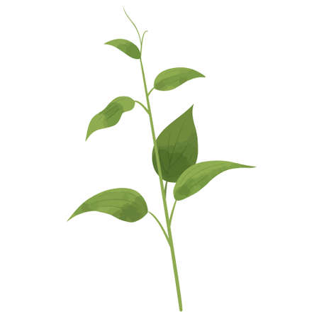 Vector illustration of stemona(climbing plant) on white background