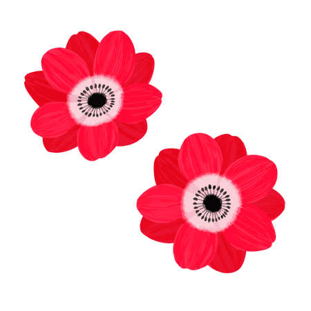 Vector illustration of two anemones on white background  イラスト・ベクター素材