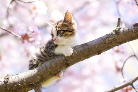 cat and cherry blossoms