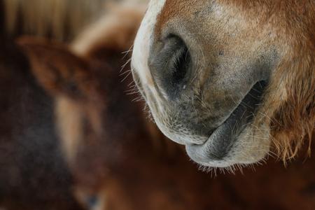 nose: horse nose Stock Photo