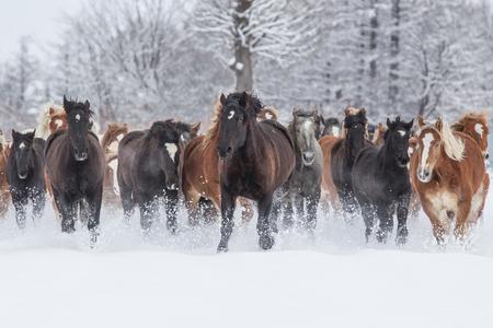 running horses: running horses in snowfield