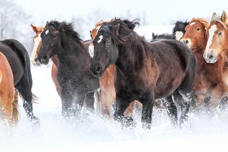 snowfield: running horses in snowfield