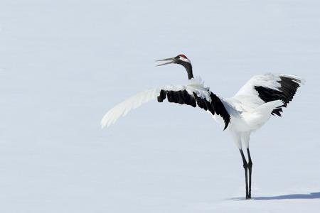 winter dance: crane bird Stock Photo