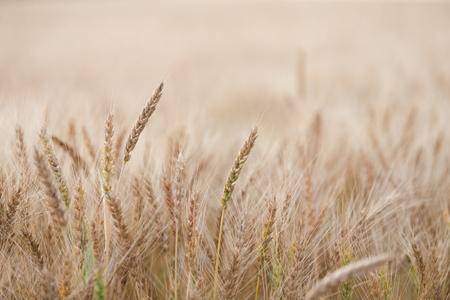 wheat Фото со стока