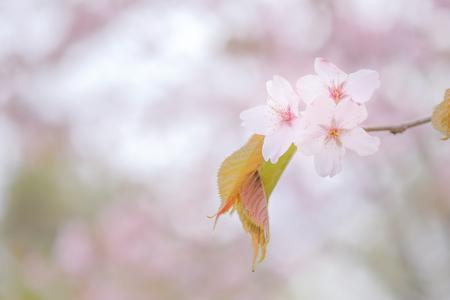 cherry blossoms: cherry blossoms