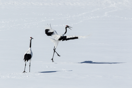 winter dance: crane Stock Photo