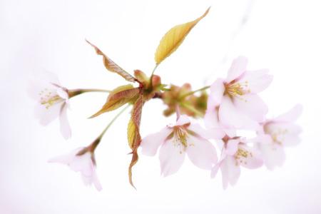 cerezos en flor: los cerezos en flor Foto de archivo