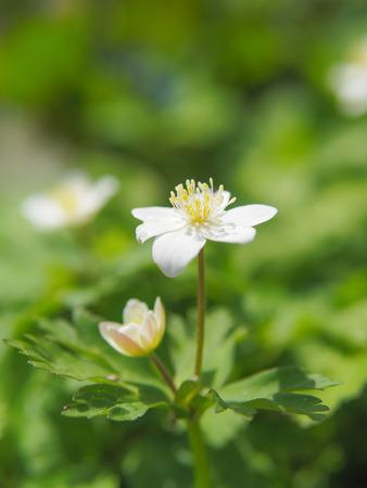 windflower: soft windflower Stock Photo
