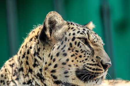 face to face: leopards face