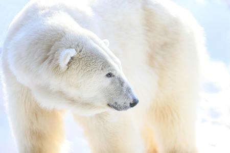 Polar Bear Фото со стока
