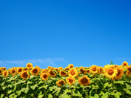 sunflower field Фото со стока