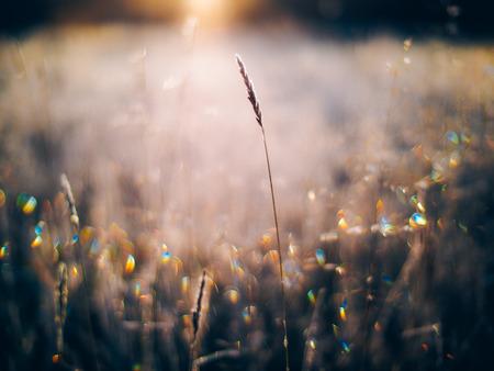 freeze dried: wild grass in winter