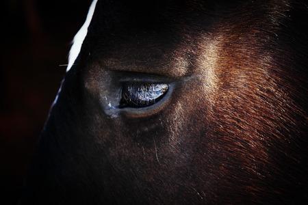 face close up: horse face close up