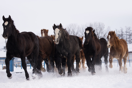 running nose: running horses in winter