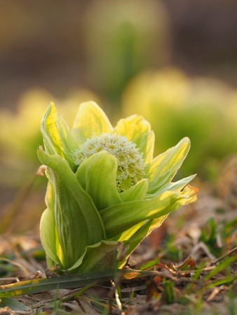 butterbur: Japanese butterbur scape in spring