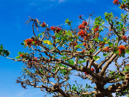 indian coral tree in okinawa
