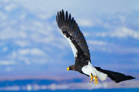 white tailed eagle Stok Fotoğraf