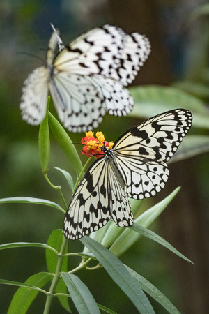 butterfly in iriomote island
