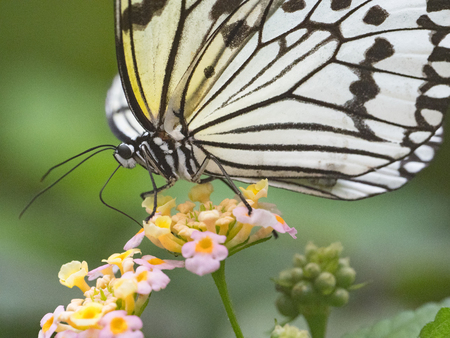 rice paper butterfly 写真素材