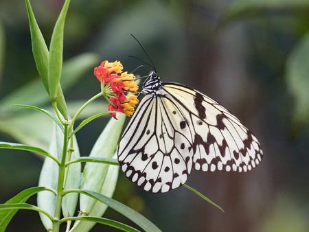 rice paper butterfly Фото со стока