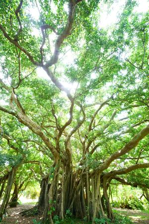 big banyan tree in ishigaki island 写真素材