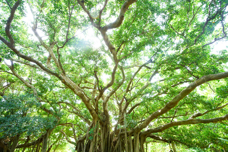 banyan tree in okinawa