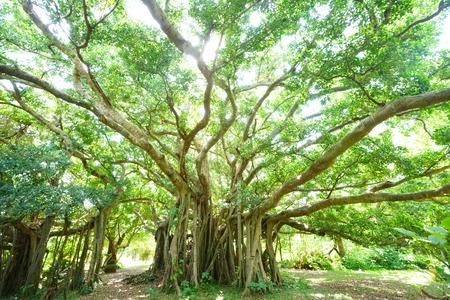 banyan tree in okinawa