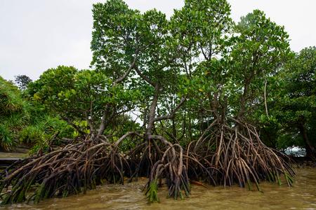 mangrove forestd in iriomote islan Zdjęcie Seryjne