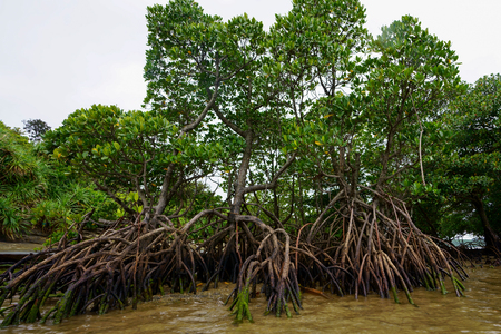 mangrove forestd in iriomote islan Фото со стока